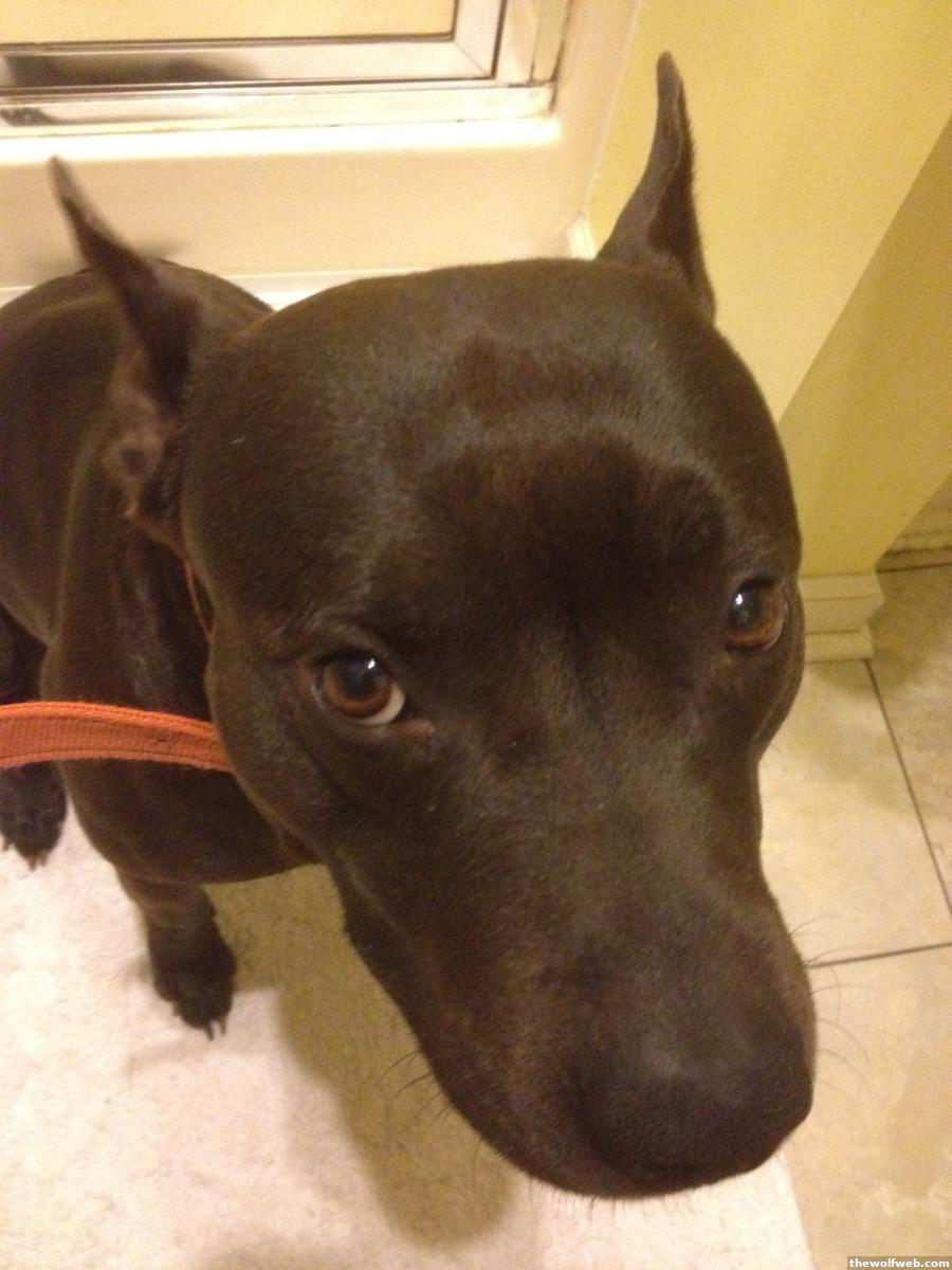 TWW - LOST DOG: Dark Brown Pit Orange Collar Sampson